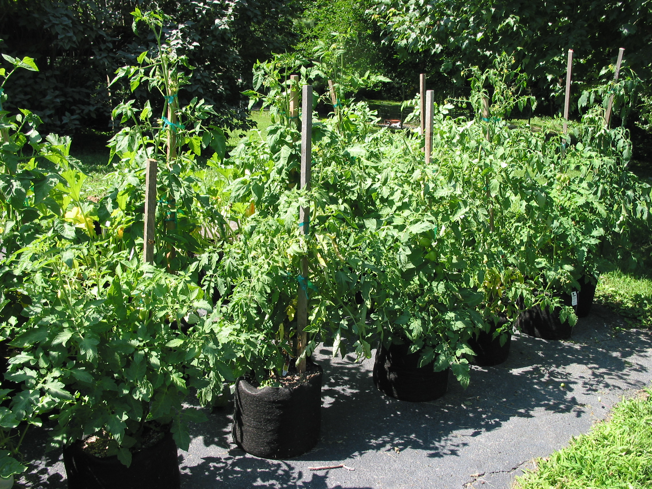 tomato alamy stock garden plants balcony photo terrace with