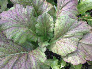 Vegetables for Shade: Mustard Greens