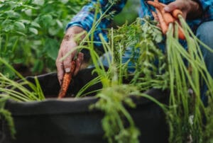 A Fresh Start:   Planting your Fall Vegetable Garden