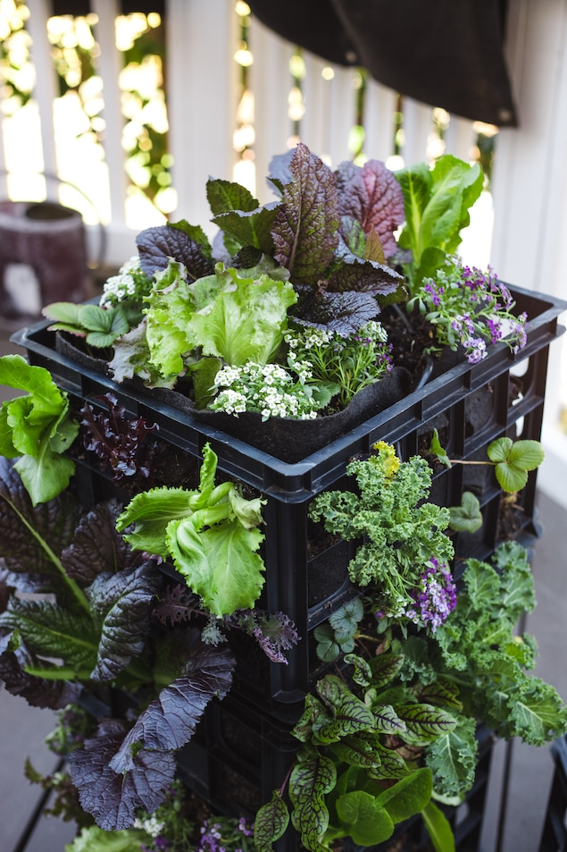 A milk crate with fabric liner filled with herby greens.